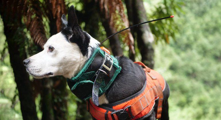 caçar javali com cachorro de caça com colete e coleira GPS