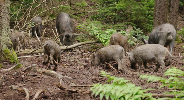 motivos para caçar javali: danos em florestas