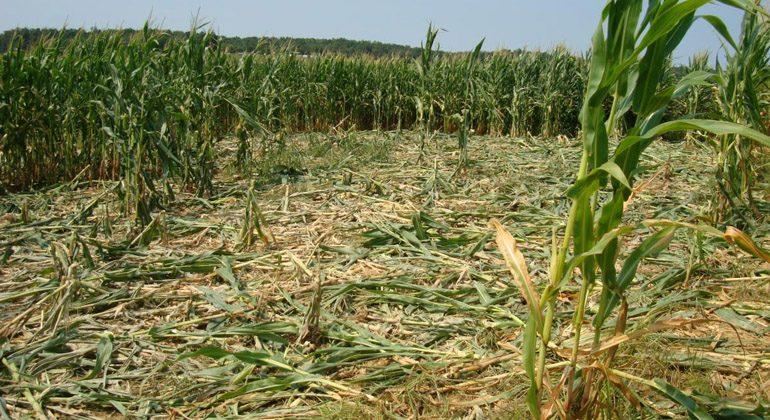 Montivos para caçar Javalis: Eles devastam as plantações
